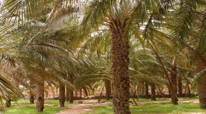 Les dattes Deglet Nour de l'oasis de Blidet